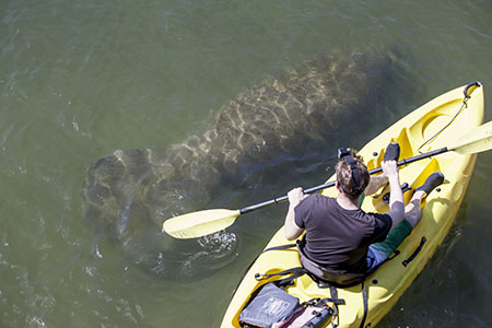 kayaker with manatee