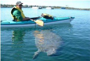 Manatee under kayak